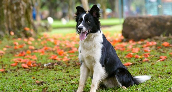 Border collie filhotes