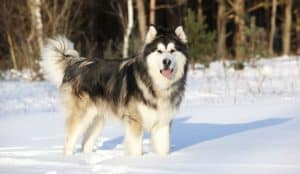 Malamute do Alasca carateristicas