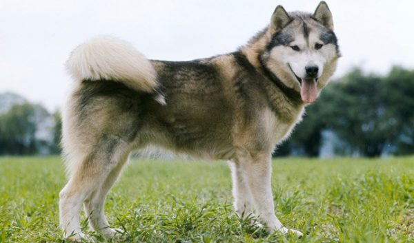 Malamute do Alasca temperamento