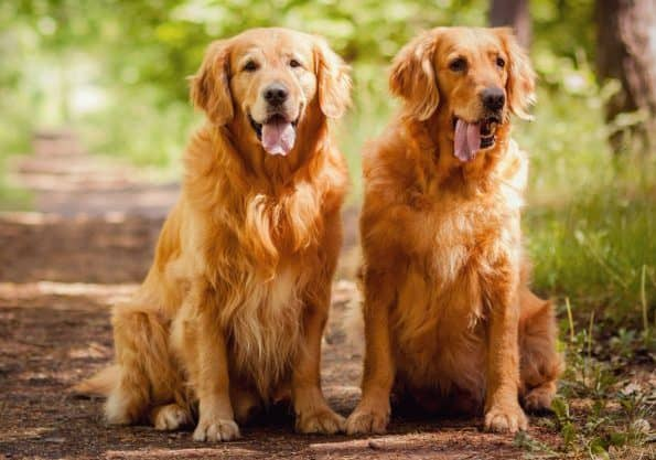 golden retriever temperamento