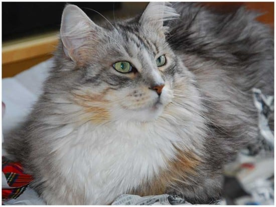 Maine Coon Peludo